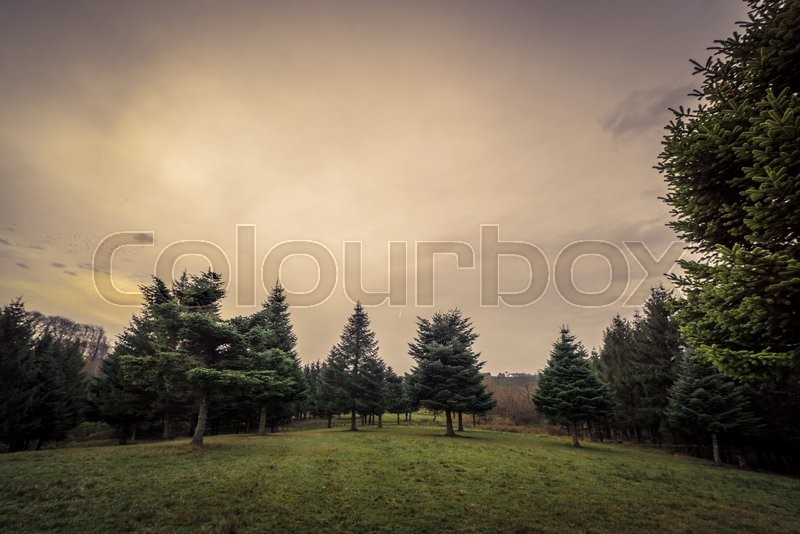 Stock image of 'Landscape with pine trees in the dawn in autumn'