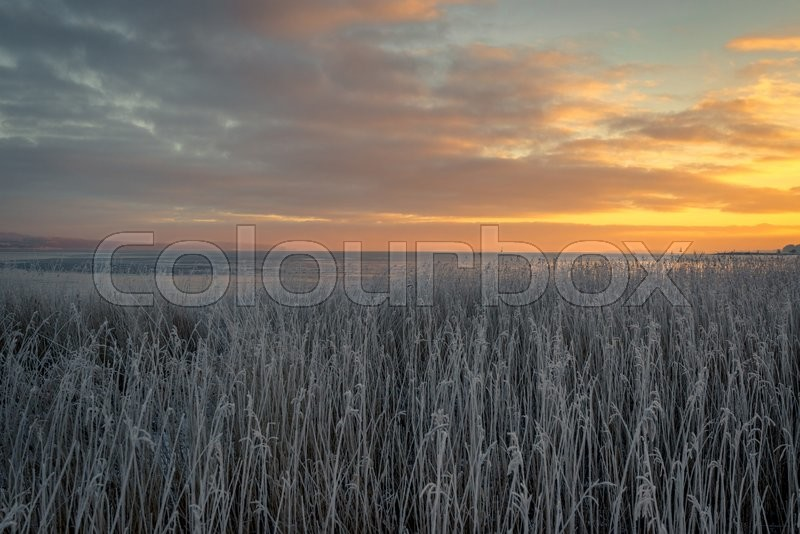 Stock image of 'Grass with frost in the sunrise near the sea'