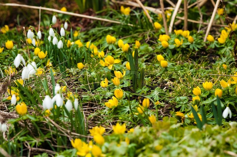 Stock image of 'Garden in the spring with eranthis and snowdrop flowers'