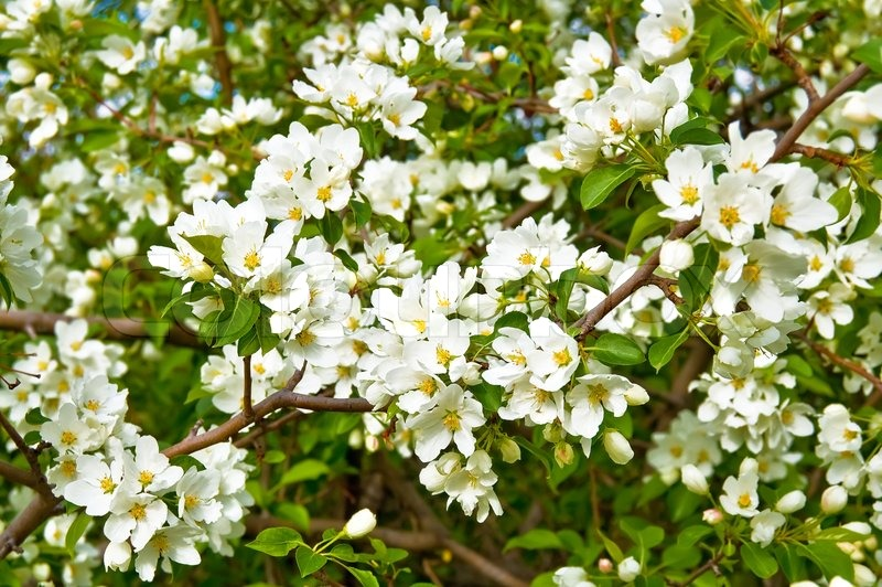 White flowers of apple trees on a background green leaves stock stock image of white flowers of apple trees on a background green leaves mightylinksfo Images
