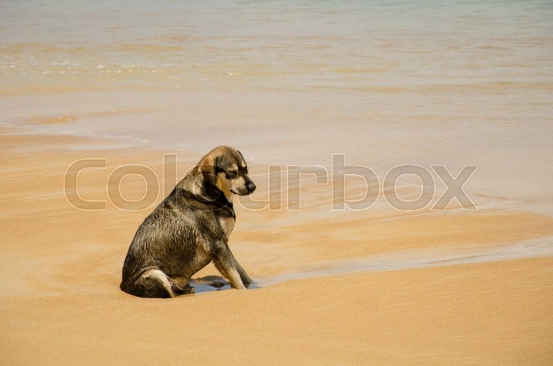 Stock image of 'Dog native of Thailand sitting on the beach.'
