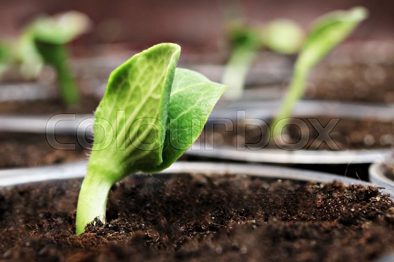 Stock image of 'Fresh green pumpkin sprouts in the pots'