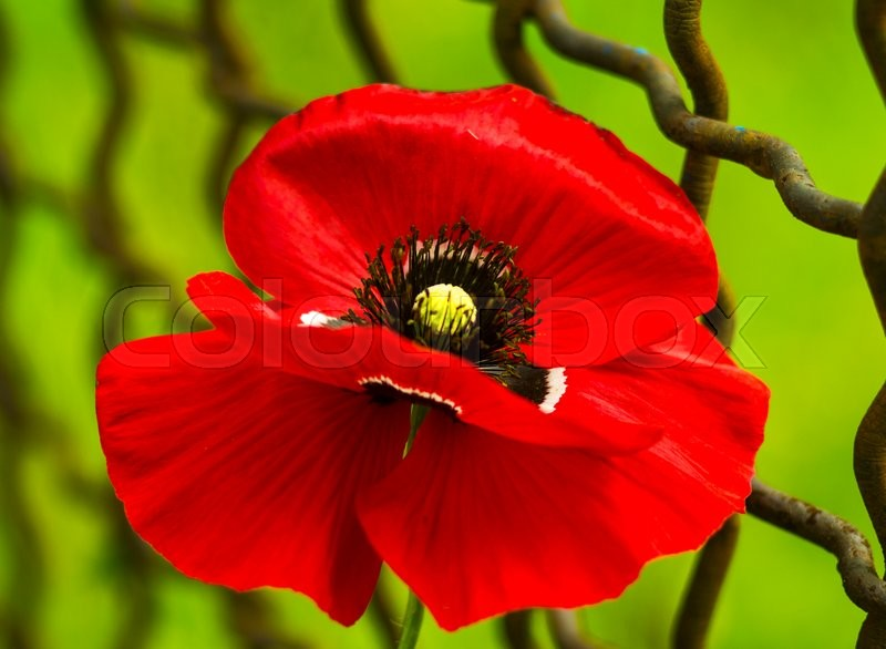 Stock image of 'Poppy. Field of bright red corn poppy flowers. Red poppy.  Papaver rhoeas common names include corn poppy. red poppy on a green background'