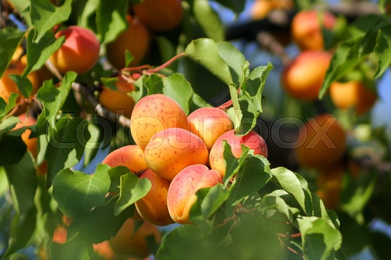 Stock image of 'Ripe tasty apricot on tree'