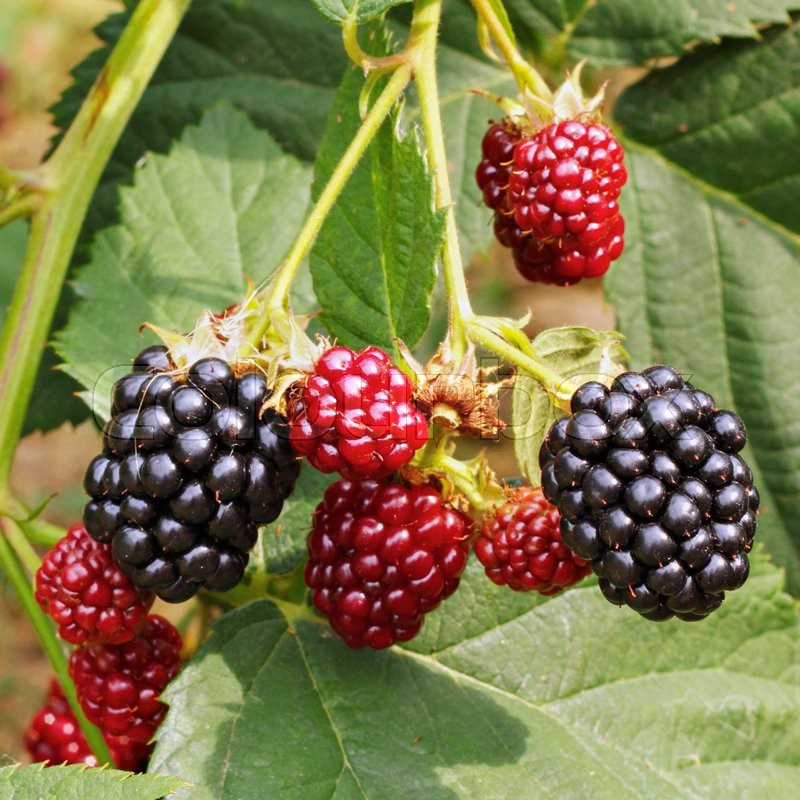Stock image of 'Blackberry bush in the garden'