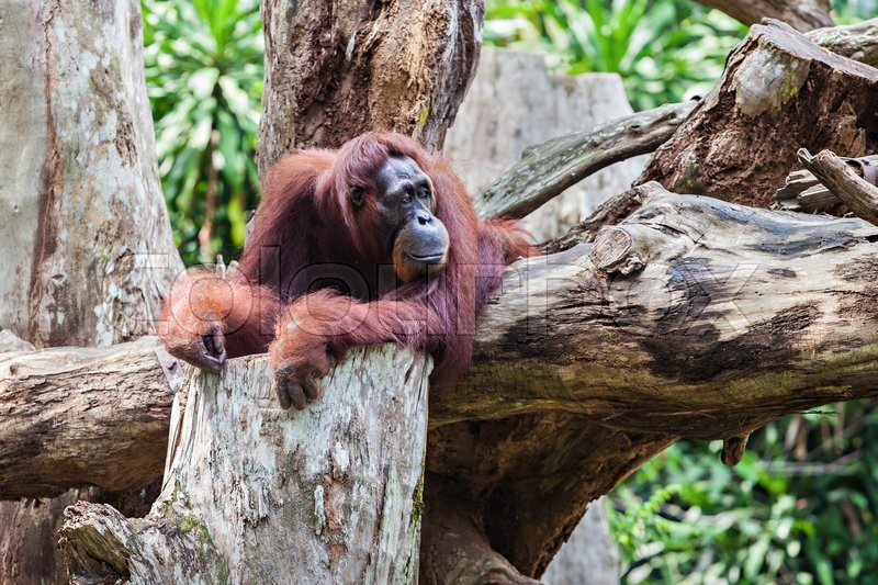 Stock image of 'The orangutans are the two exclusively Asian species of extant great apes\'