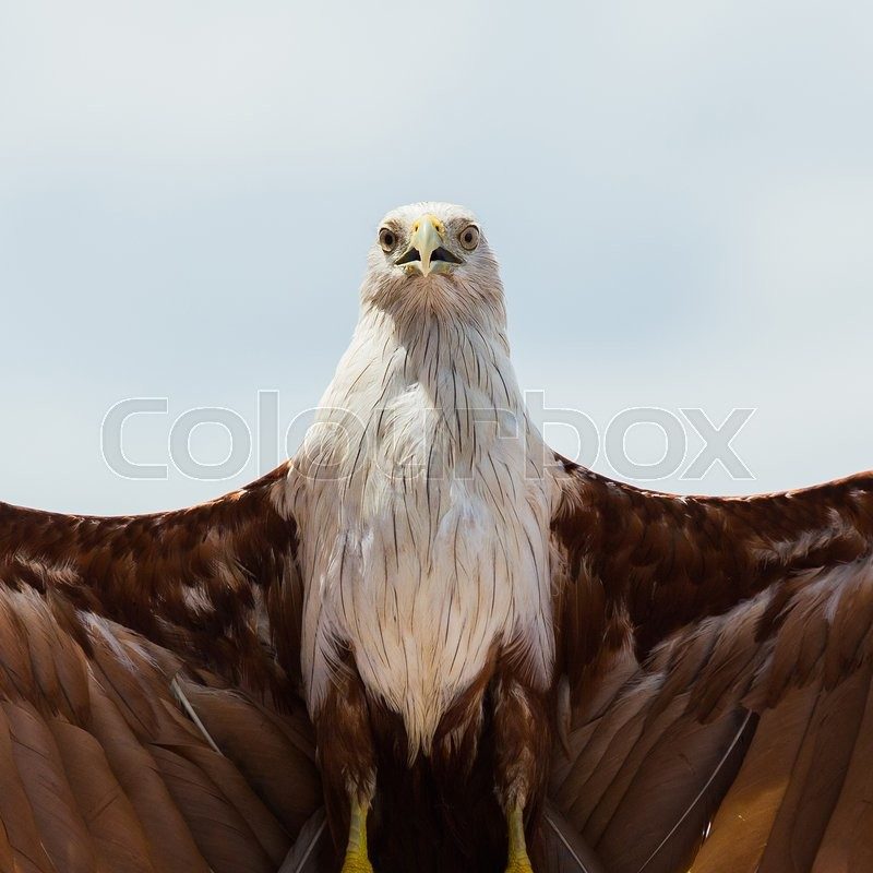 Stock image of 'Bald eagle on white background.'