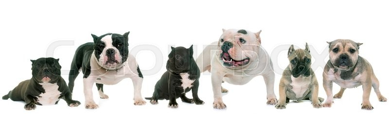Stock image of 'group of american bully in front of white background'