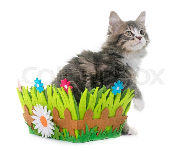 Stock image of 'maine coon kitten in front of white background'