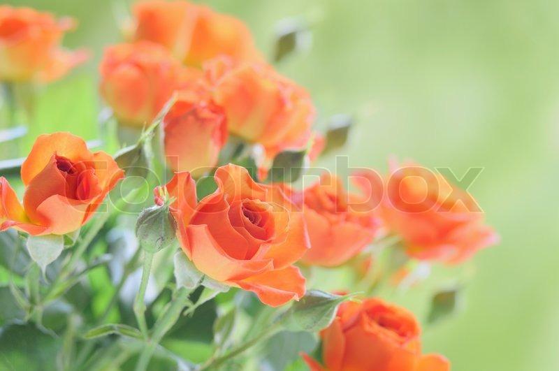 rote rosen in der natur stockfoto colourbox. Black Bedroom Furniture Sets. Home Design Ideas