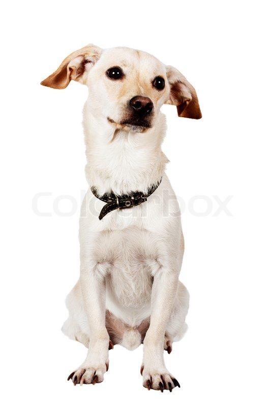 sitting pretty dog on white background
