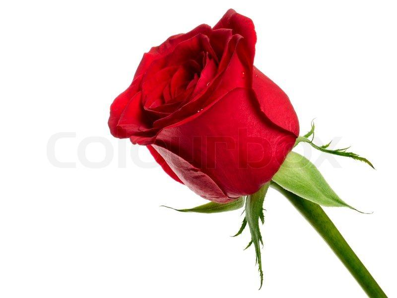 rote rose auf wei em hintergrund stockfoto colourbox. Black Bedroom Furniture Sets. Home Design Ideas