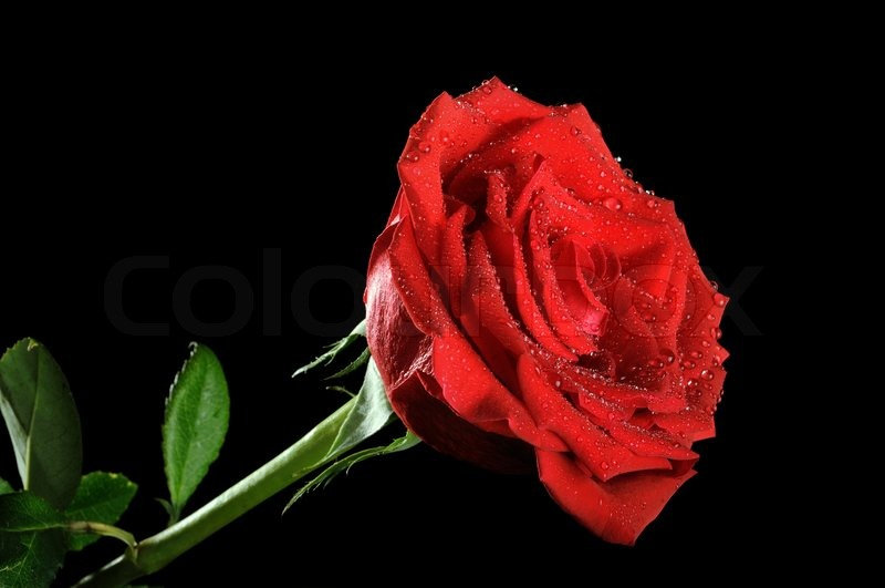 Red rose on the...