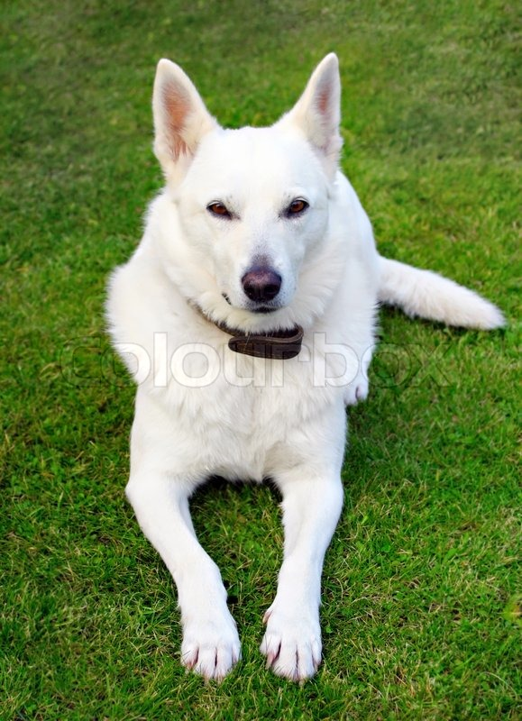 white hund auf dem rasen stockfoto colourbox. Black Bedroom Furniture Sets. Home Design Ideas