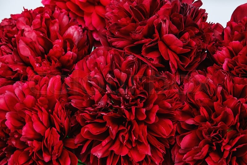 Stock image of 'A macro close-up of a red pionies in bloom'