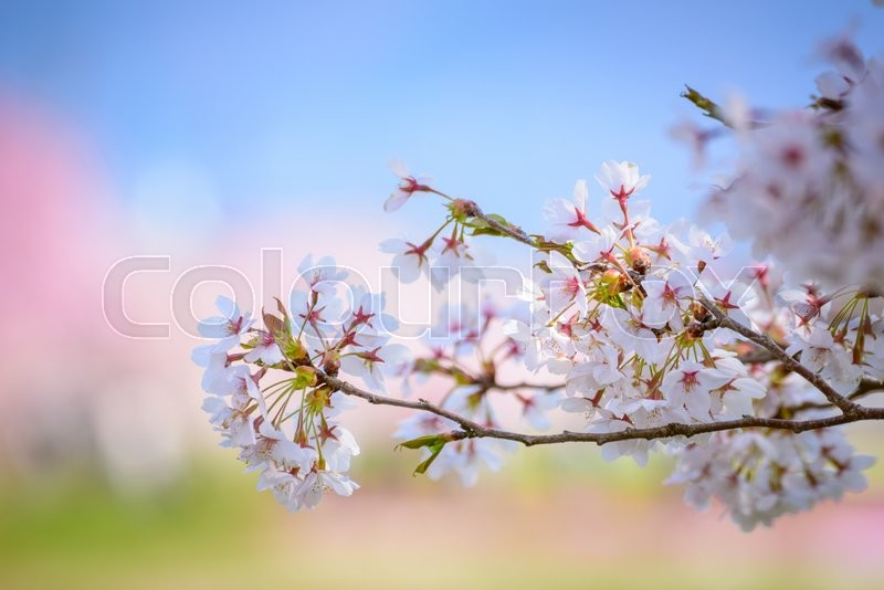 Stock image of 'Outdoor shot filled with beautiful spring cherry blossoms in japa'
