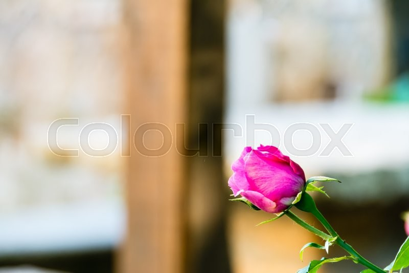 Stock image of 'Pink rose flower close up'