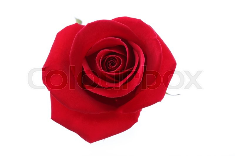 Stock image of 'Red rose flower isolated on white background'