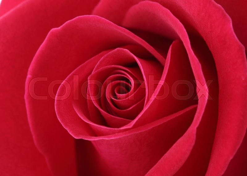 Stock image of 'Red rose flower with beautiful petals shape heart'