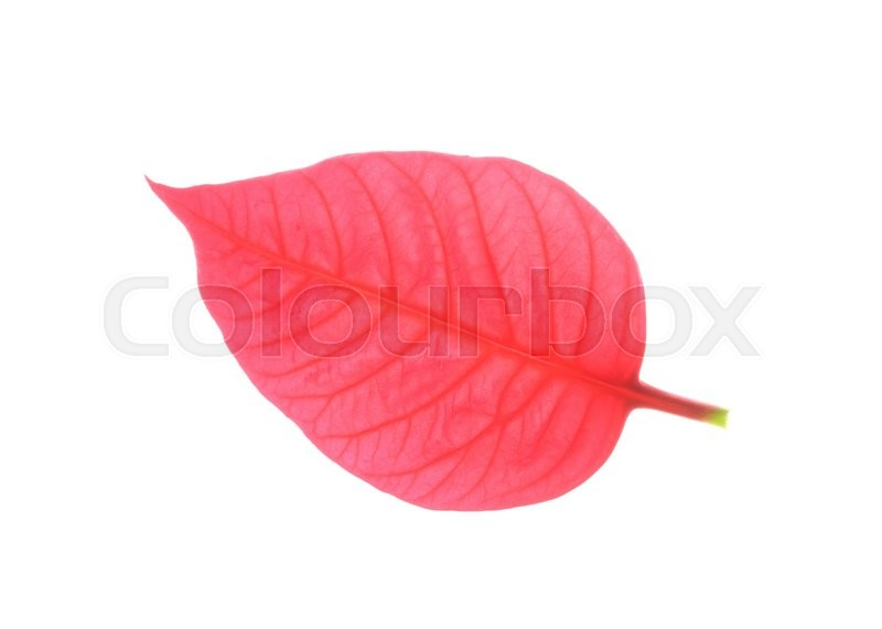 Stock image of 'Red leaf of poinsettia christmas tree'
