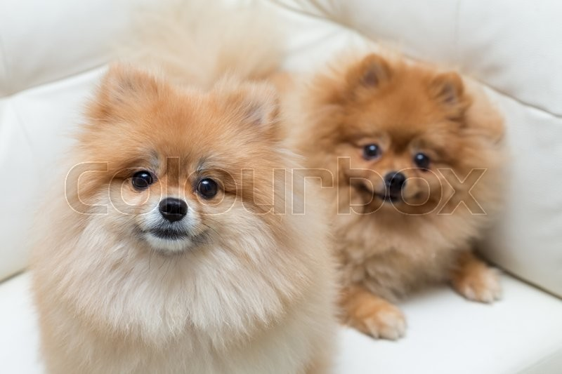 Stock image of 'Puppy pomeranian dog cute pets sitting on white sofa furniture'