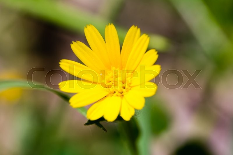 Stock image of 'Close up of a yellow daisy'