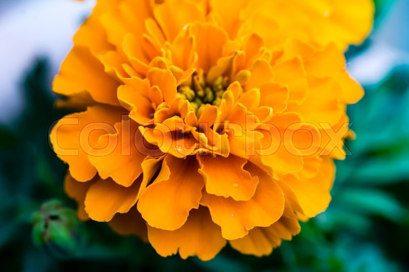Stock image of 'Close up of a Marigold (Tagetes) flower with some rain drops'