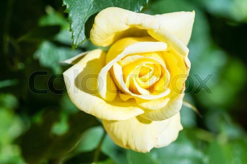 Stock image of 'Close up of an yellow rose flower'