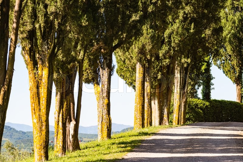 Stock image of 'A path in Tuscany with a row of cypress trees'