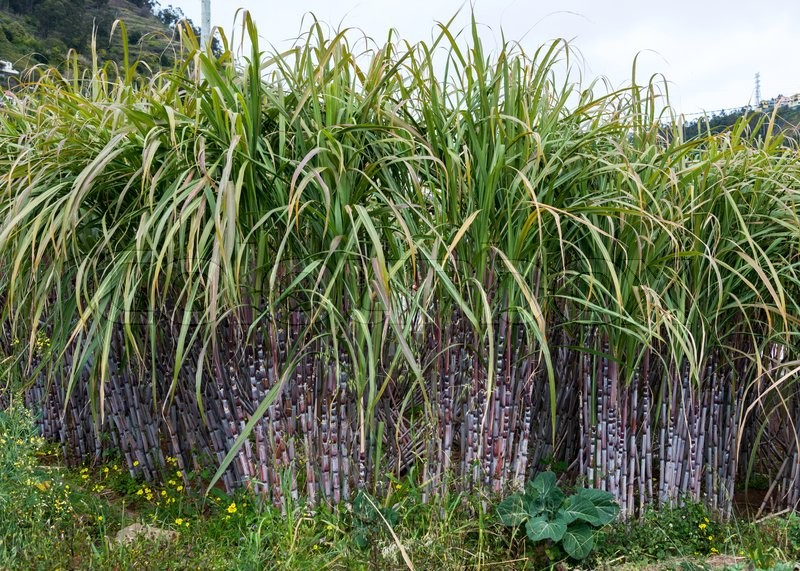 Stock image of 'field with sugar cane on madeira island'