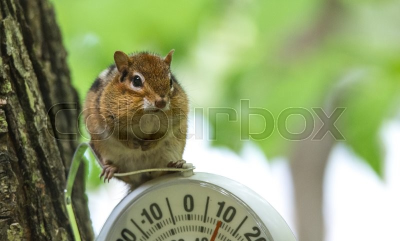 Stock image of 'A curious chipmunk (tamias) sits up on top of dial indicator in cool shade.  Small squirrel paused on an outdoor thermometer.'