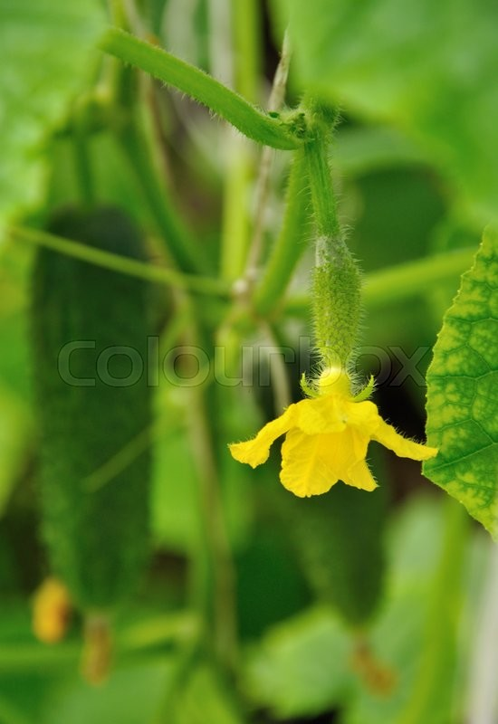 Stock image of 'Ovary of cucumber with flower on the plant'