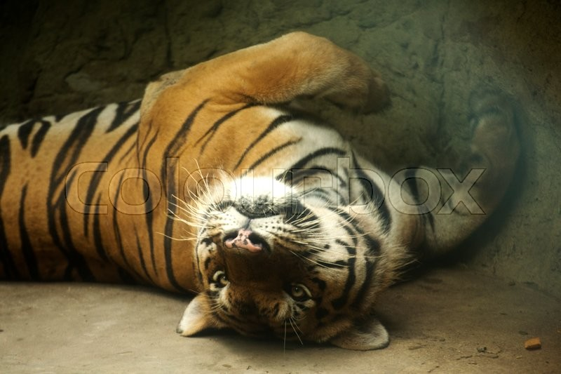 Stock image of 'Close up Bengal Tiger sleeping on the floor'