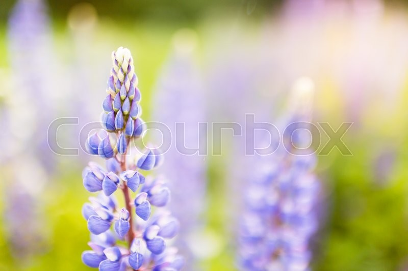 Stock image of 'Blossoming purple lupines in meadow, floral summer background with copy space right'