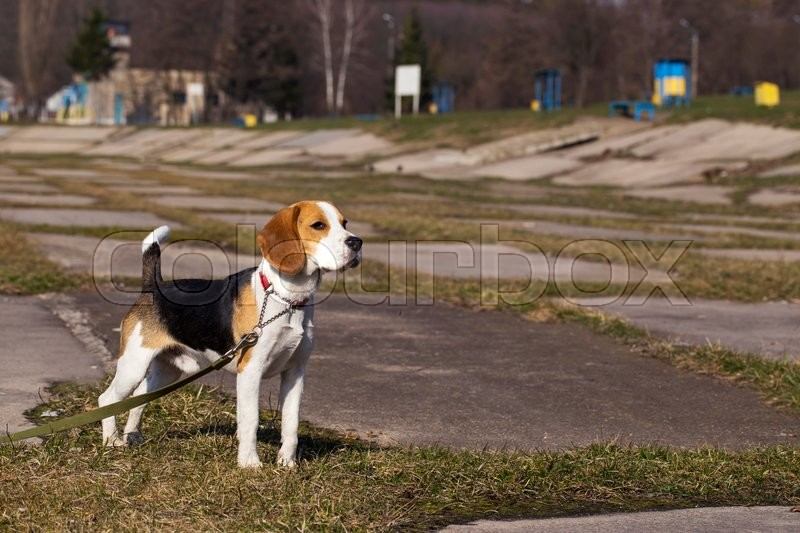 Stock image of 'the dog breed beagle is standing on green grass'