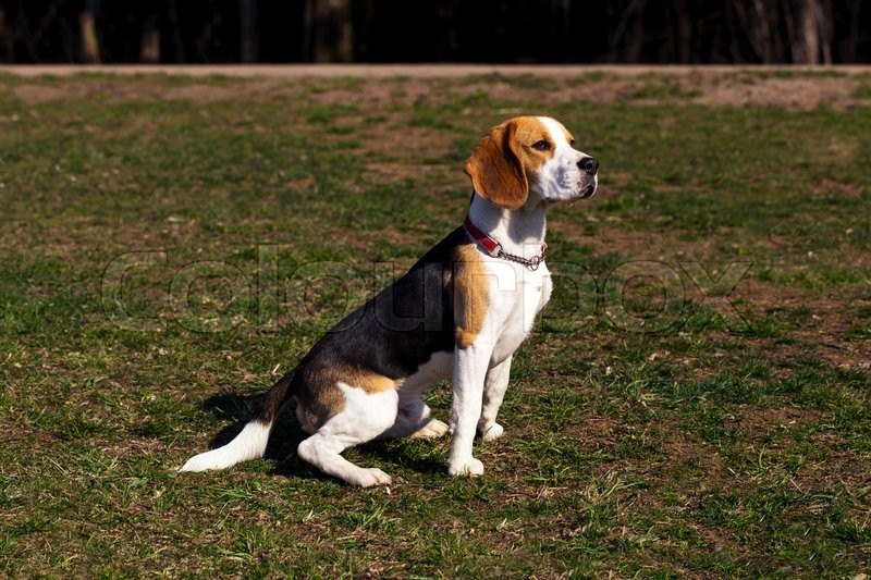 Stock image of 'the dog breed beagle is sitting on green grass'