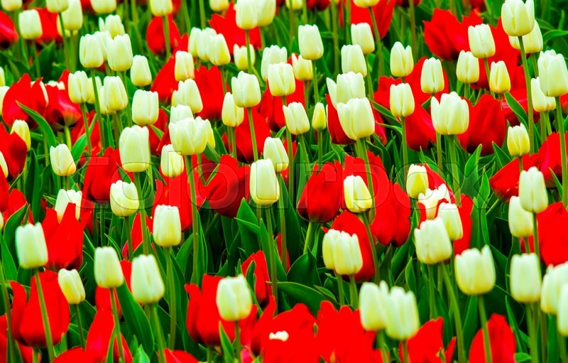 Field of tulips. red and white tulips. tulips flowers, stock photo