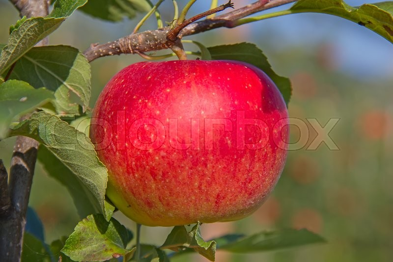 Stock image of 'Apple garden full of riped red apples'