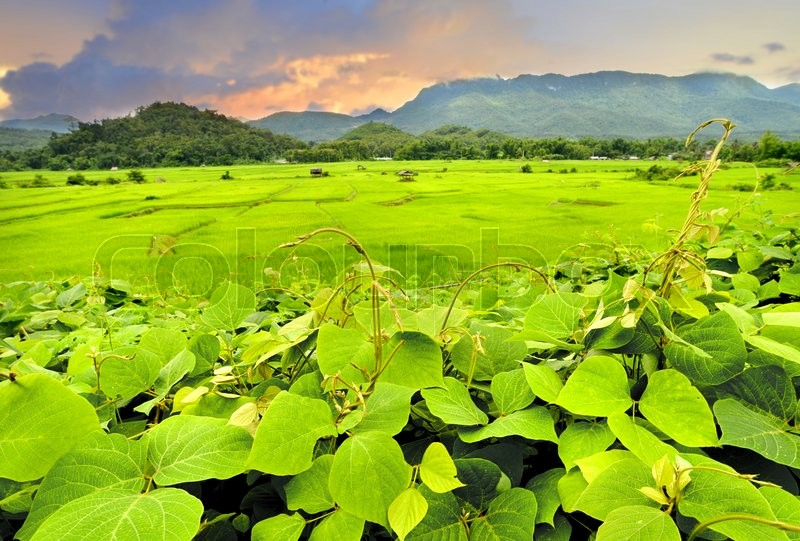 Stock image of 'green view of rice fields at asian countryside in the morning lighting'
