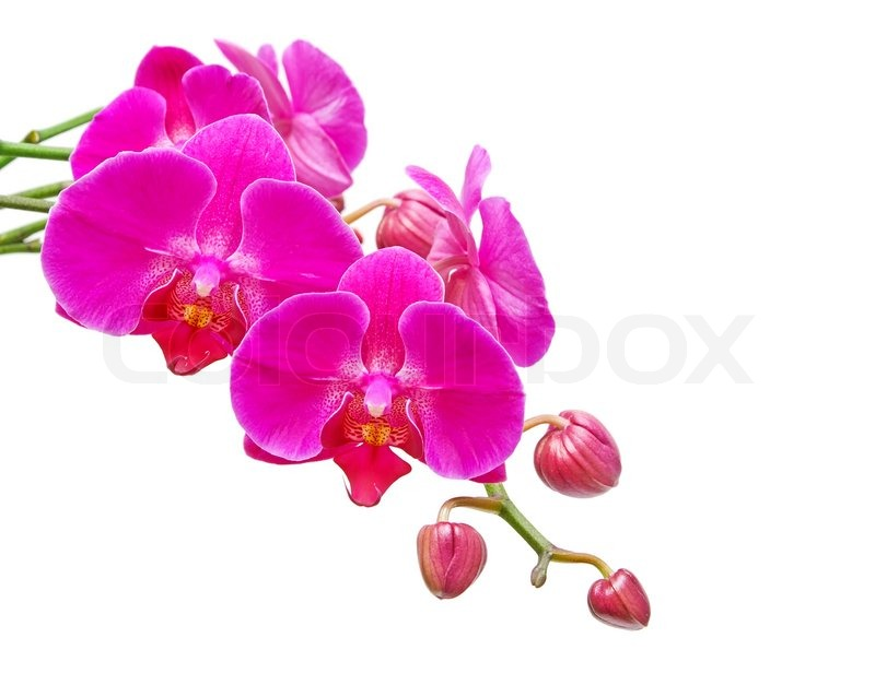 Orchid. Flowers and flower buds closeup on white background. | Stock ...