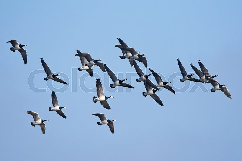 Stock image of 'Barnacle geese in flight with blue skies in the background '