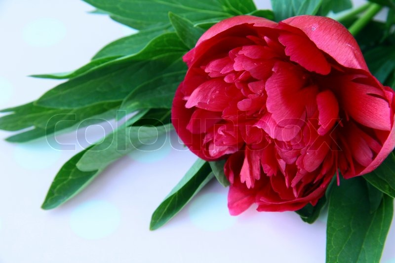 Burgundy Peony Flower With Green Leaves Stock Photo