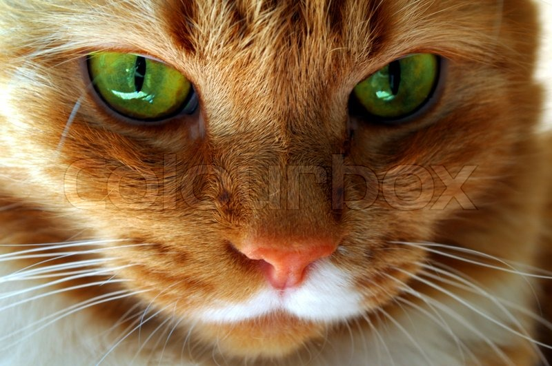 Stock image of 'Red cat with green eyes'