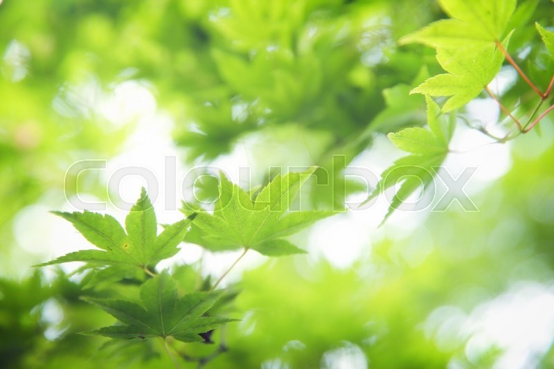 Green maple leaves , Maple tree background in Japan, stock photo