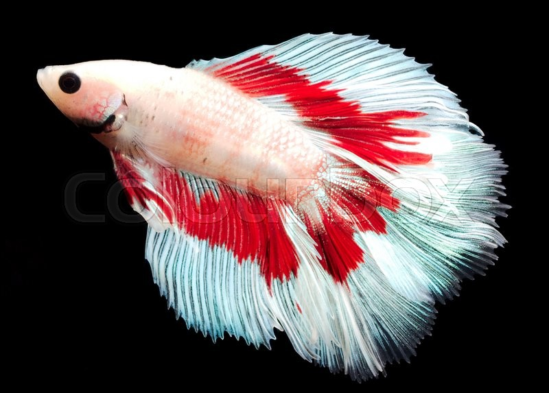 Stock foto af 'male of Siamese fighting fish'