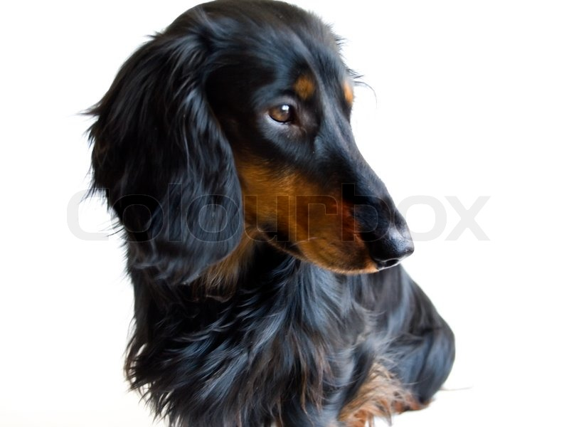 Black And Brown Dachshund