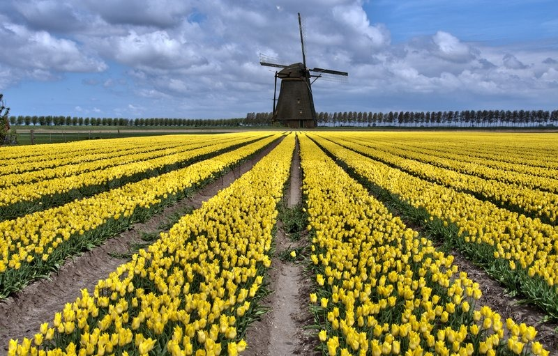Dutch windmill and yellow tulip fields near Amsterdam | Stock Photo ...