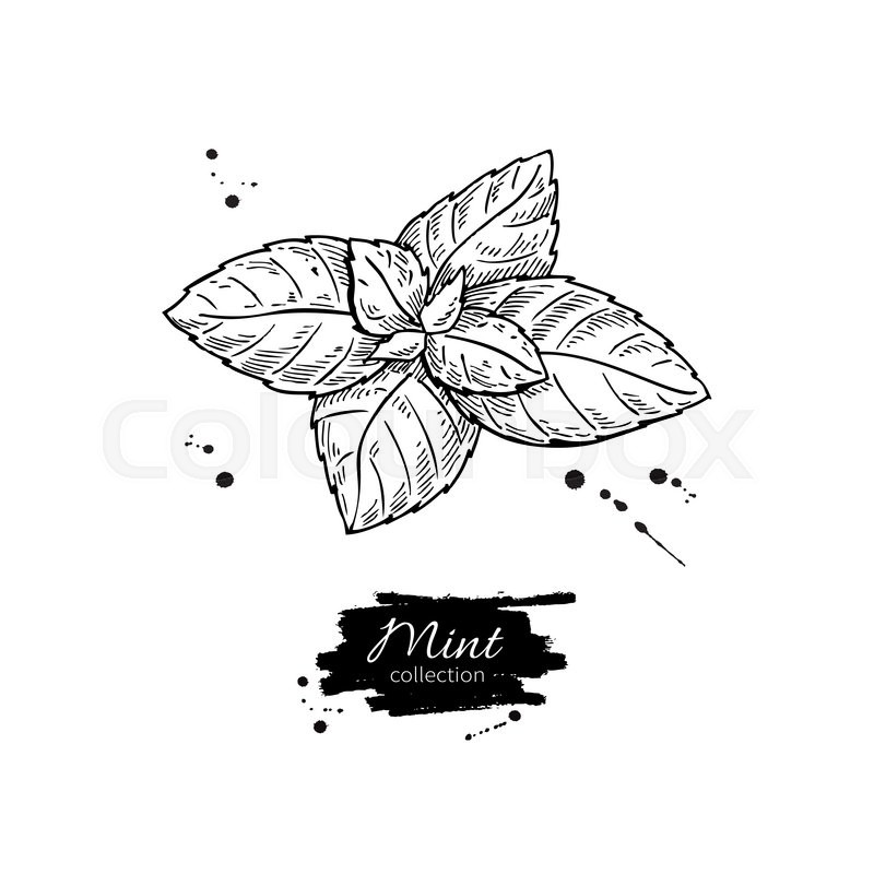 Mint Vector Drawing Isolated Mint Plant And Leaves