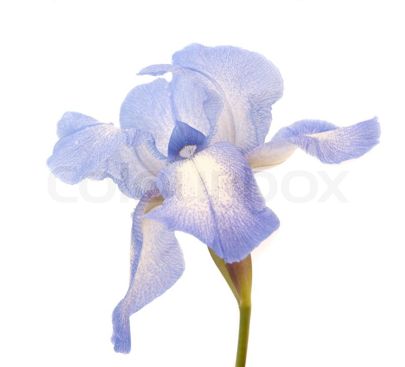 iris flower on a white background  stock photo  colourbox, Beautiful flower