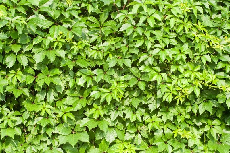 Background - green vines leaves texture, stock photo